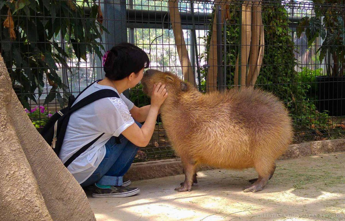 Kobe Animal Kingdom / Animal, Capivara, Capybara, Carpincho, Japan, Kansai, Kobe, Tier, Tiere, こうべ, カピバラ, 動物, 日本, 神戸, 関西