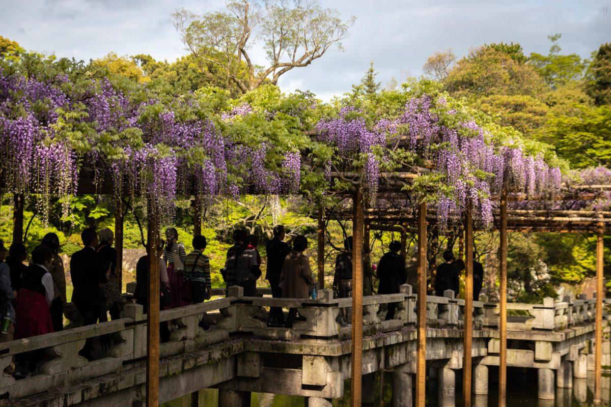 Imperial Palace Sento Gosho, Kyoto / Blauregen, J2019, Japan, Kansai, Kioto, Kyoto, Pflanze, Pflanzen, Plant, Wisteria, ふじ, 京都, 日本, 植物, 藤, 関西