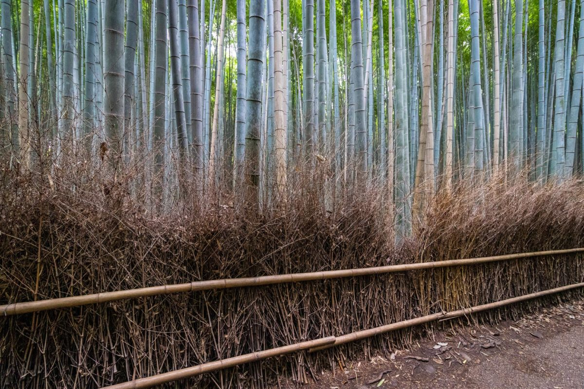 Bamboo Forest Arashiyama Kyoto / Bambus, J2019, Japan, Kansai, Kioto, Kyoto, Pflanze, Pflanzen, Plant, bamboo, 京都, 日本, 植物, 竹, 関西