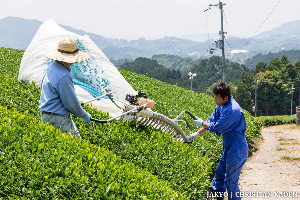 Tea fields in Wazuka, Japan