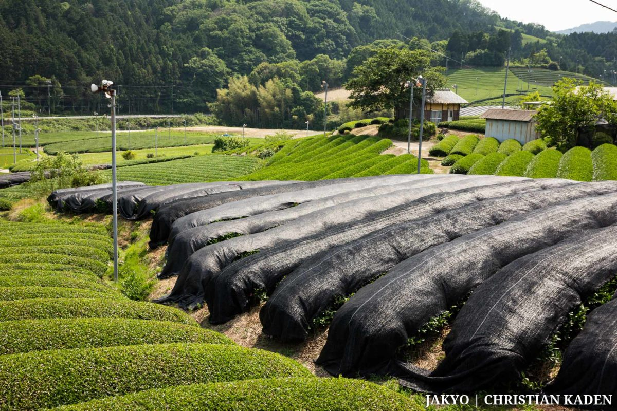 Tea fields in Wazuka, Japan / Green Tea, Grüner Tee, Grüner Tee (japanisch), Grüntee, J2016, Japan, Kabusecha, Kansai, Oishita-en, Pflanze, Pflanzen, Plant, Roten-en, Tea, Tea Plant, Tea Plantation, Tee, Teepflanze, Teeplantage, Wazuka, bedecktes Teefeld, covered tea field, offenes Teefeld, open tea field, かぶせちゃ, かぶせ茶, にほんちゃ, りょくちゃ, 冠茶, 和束町, 日本, 日本茶, 植物, 緑茶, 茶, 茶の木, 茶園, 茶畑, 覆下園, 関西, 露天園