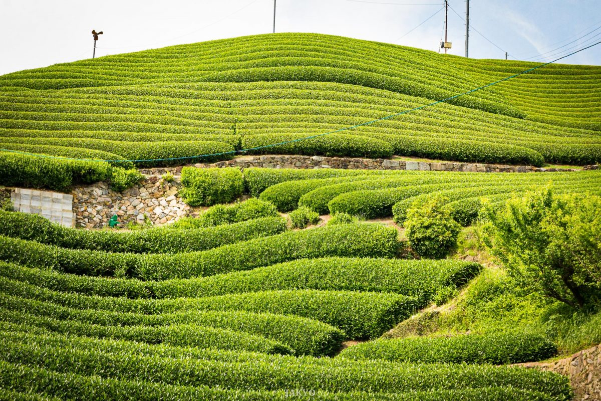 Tea fields in Wazuka, Japan / BeOfJap, Best of Japan, Grün, Japan, Kansai, Pflanze, Pflanzen, Plant, Roten-en, Tea, Tea Plant, Tea Plantation, Tee, Teepflanze, Teeplantage, Wazuka, green, offenes Teefeld, open tea field, みどり, 和束町, 日本, 日本一番, 植物, 茶, 茶の木, 茶園, 茶畑, 関西, 露天園